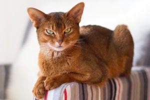 Habešská mačka: fotografia, popis plemena a obsah