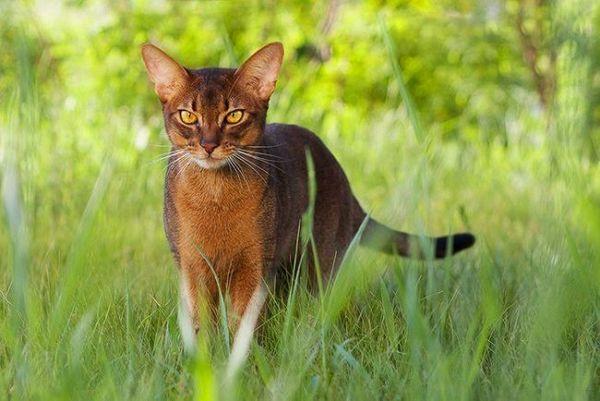 Habešská mačka (foto): inteligencia, milosť a zvedavosť