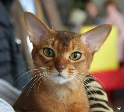 Habešská mačka: slnečné erupcie a hviezdy blikajú