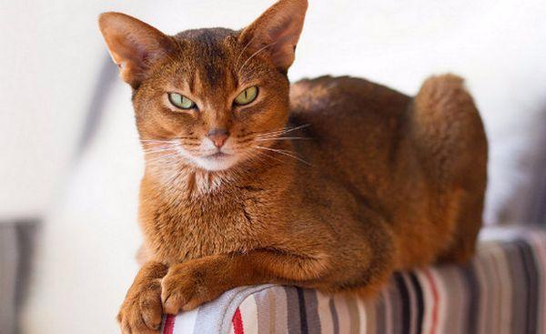 абиссинская кішка