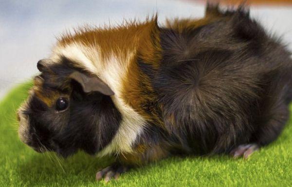 Розеткова порода морських свинок