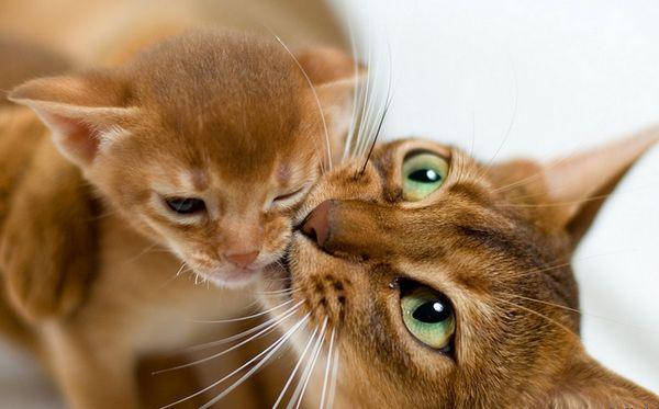 абиссинская кішка і кошеня
