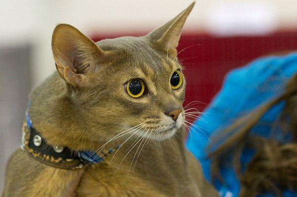 абиссинская кішка сірого забарвлення
