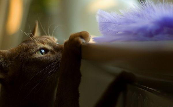 абиссинская кішка на фото