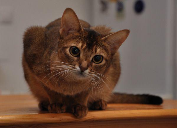 абиссинская кішка крупним планом