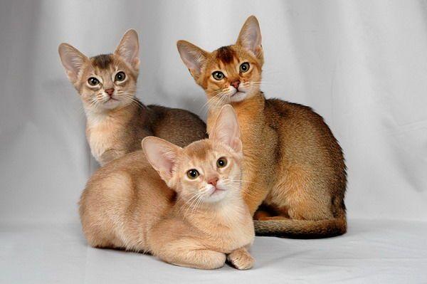 3 кошеня абіссінської породи