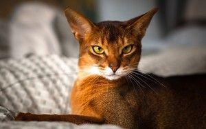 Habešské mačky: vlastnosti tohto plemena