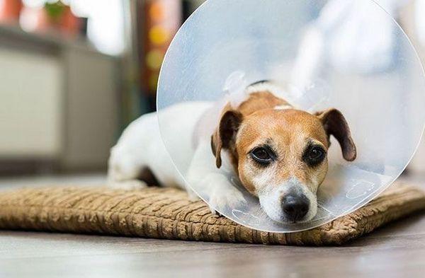 Собака в захисному комірі