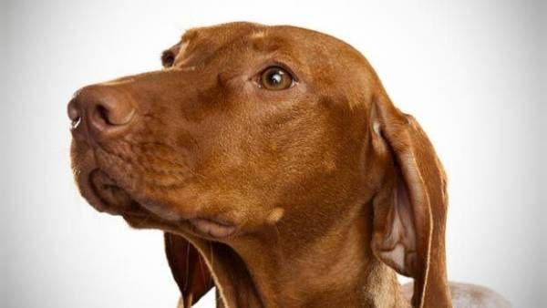 """Adenitída mazových žliaz u psov: """"škaredý"""" stav pokožky"""