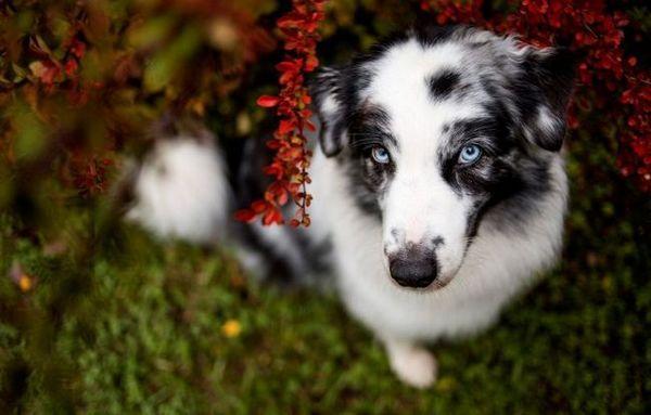 Adenóm hepatoidných žliaz u psov