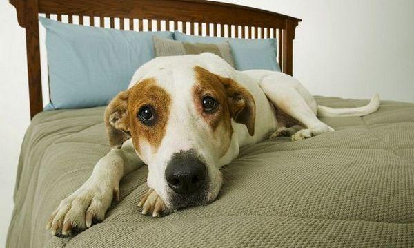 Adenóm prostaty u psov: podrobnosti o chorobe