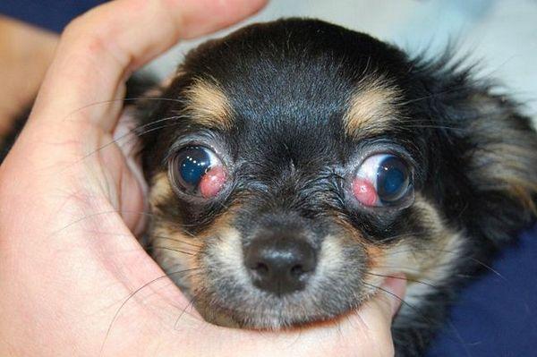 Adenóm tretieho viečka u psov