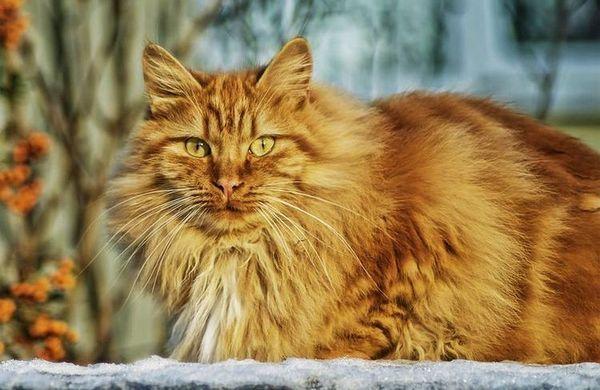 Рудий пухнастий кіт на снігу