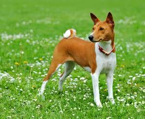 Препарати для собак
