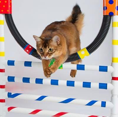 Agility pre mačky: šport pre aktívne domáce zvieratá