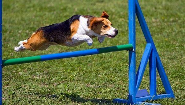 Займатися аджилити можуть абсолютно всі. Для господаря це можливість цікаво провести час, для собаки - весело пограти, адже саме так песики сприймають цю чисто людську затію