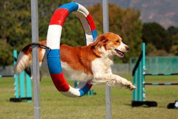 Аджилити для собак - це перетворена кінський конкур