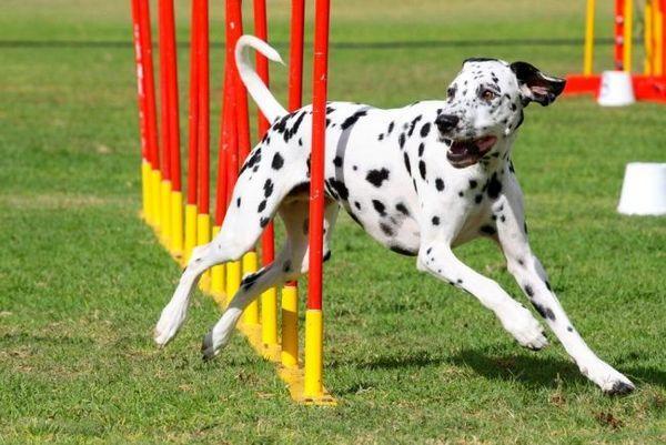 Головне в аджилити для собак - максимально грамотне подолання всіх перешкод. Швидкість теж грає роль у присудженні призу, але, якщо собака подолала трасу дуже швидко, при цьому збивши все, що не можна збивати, високо це не оціниться