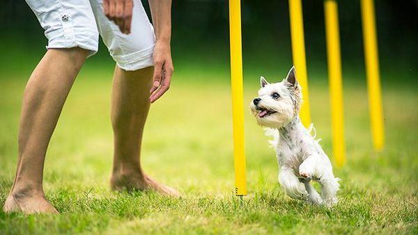 Хендлер має право командувати своїм псом тільки на відстані. Господарю не можна заохочувати свого вихованця вкусняшками або чимось ще. Доторкатися до собаки теж не можна, навіть нашийник треба зняти