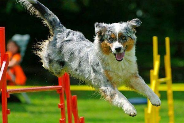Участь в змаганнях можуть брати будь-які породи собак, для аджилити можна привести навіть безпородного Бобика. Головне тут - ідеальний симбіоз хендлера зі своїм вихованцем