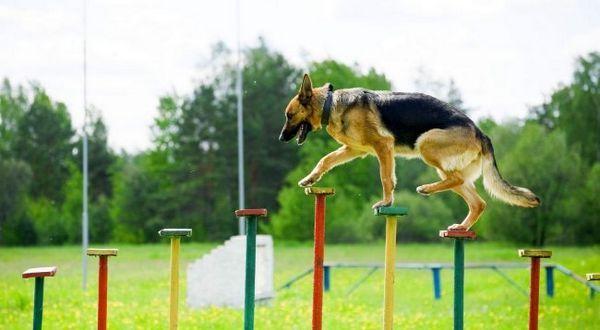 Змагання з аджилити для собак розділене на три категорії: міні, міді і стандарт - в залежності від розмірів учасників