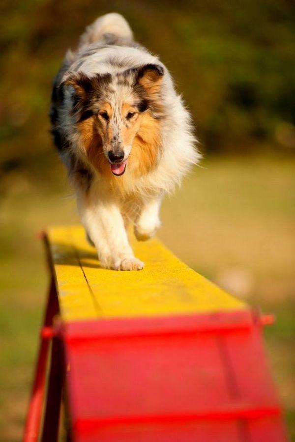 Добре, якщо заняття аджилити для собак починаються, коли песику виповниться 4-6 місяців - це ідеальний вік для початку дресирувань
