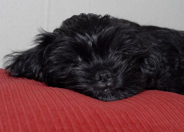 маленька собака