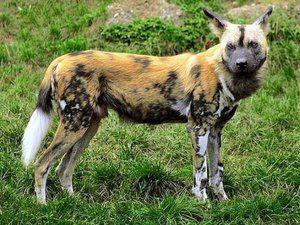 Африканська гіеновідная собака