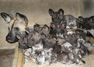 Самка гіеновідной собаки з потомством