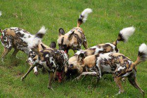 Полювання африканських диких собак