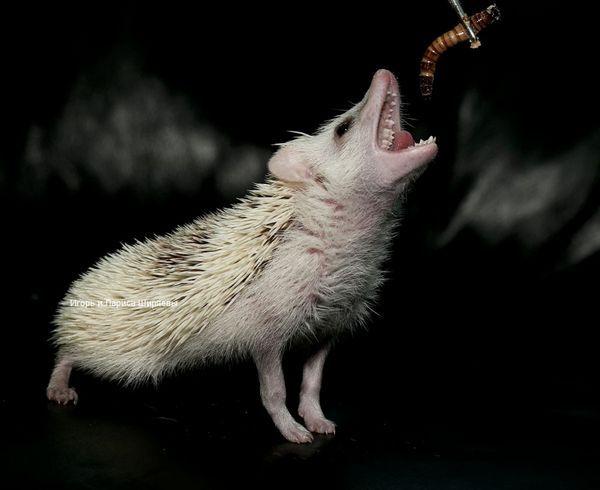 Африканський карликовий їжак їсть черв`яка