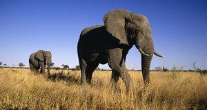 Slon africký bush: čo žerie a ako žije