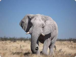 Саванний слон - ареал проживання