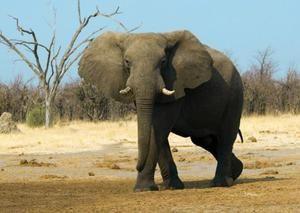 Африканський слон - рідкісні тварини