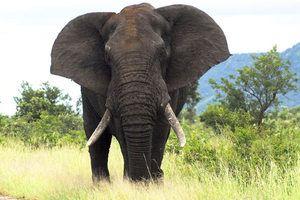 Слон африканський - звички, харчування