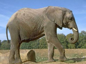 Як розмножуються слони
