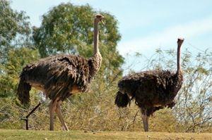 Pštros Masai: popis vzhľadu