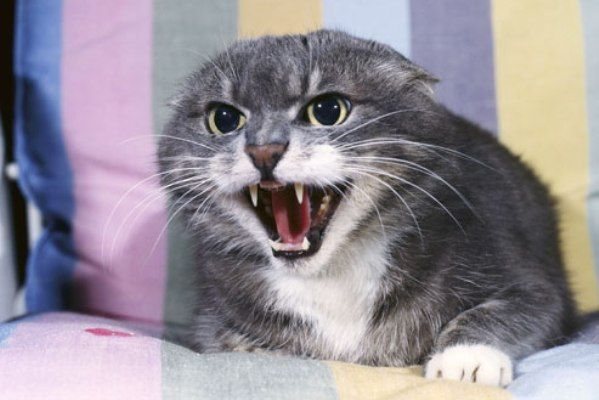 Страх у кішки