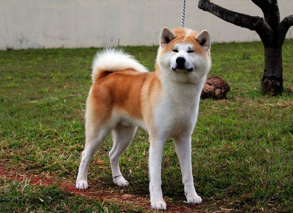 собака породи акіта-іну