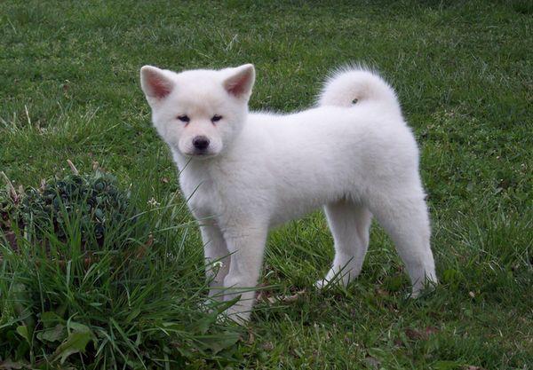 Акіта-іну білий щеня