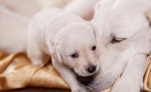 Aktuálne rady, ako porodiť psa
