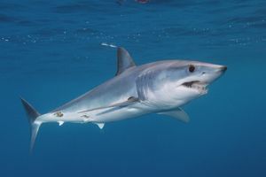 Chov žralokov čiernych