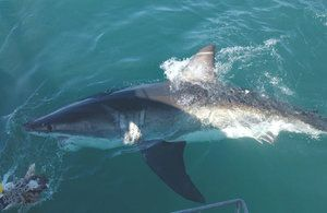 Mako rýchlosť útoku žraloka