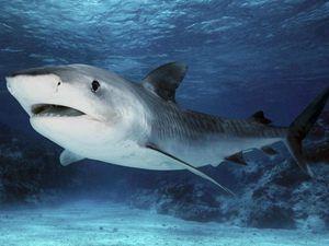 Charakteristický opis žralokov