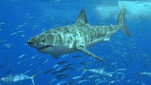 Klasifikácia žralokov morských predátorov