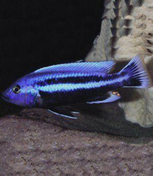 Akvarijné ryby cichlíd melanochromis chipoka