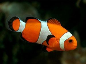 Смугаста риба клоун