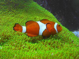 Риба клоун в океані