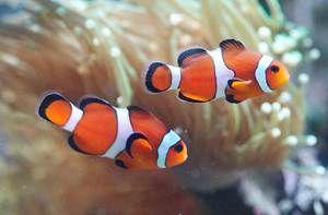 рибки клоуни