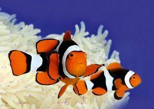 Дві риби клоуни